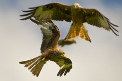 Red kite (milvus milvus) 15 Stock Photography