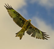 Red kite (milvus milvus) 18 royalty free stock photo