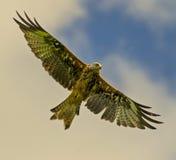 Red kite (milvus milvus) 18 Royalty Free Stock Photo