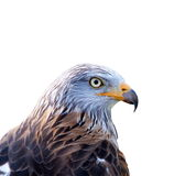 Red kite (Milvus milvus) isolated Royalty Free Stock Image