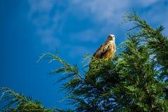 The Red Kite (Milvus milvus) royalty free stock photos