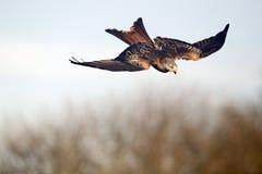 Red kite, Milvus milvus. Single bird in flight, Gigrin Farm, Wales, January 2011 Royalty Free Stock Image