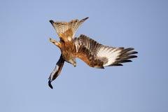 Red kite, Milvus milvus. Single bird in flight, Gigrin Farm, Wales, January 2011 Stock Photo