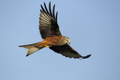 Red kite, Milvus milvus. Single bird in flight, Gigrin Farm, Wales, January 2011 Stock Photography
