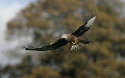 Red kite, Milvus milvus Royalty Free Stock Image