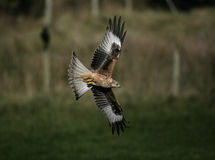 Red kite, Milvus milvus Royalty Free Stock Images