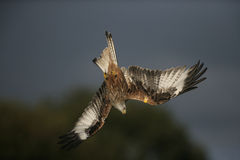 Red kite, Milvus milvus Royalty Free Stock Photo