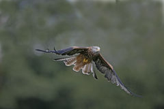 Red kite, Milvus milvus Royalty Free Stock Photography