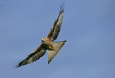 Red kite, Milvus milvus Stock Photos