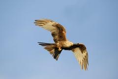 Red kite, Milvus milvus. Single leuistic bird in flight, Gigrin Farm, Wales, January 2011 Royalty Free Stock Photos