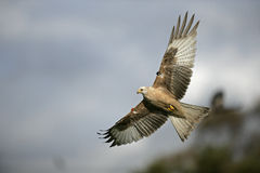 Red kite, Milvus milvus Stock Photography