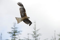 Red Kite (Milvus milvus) soars above the treetops Stock Photo