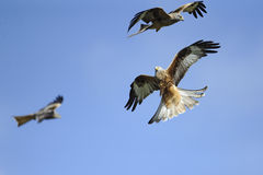 Red kite (milvus milvus) squable in flight Royalty Free Stock Image