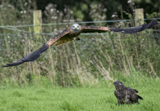 Red Kite over Buzzard royalty free stock image