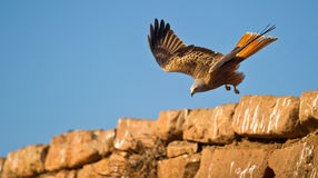 A Red Kite overpassing a wall. A Red Kite overpasses a stone wall on a near to the ground risky flight maneuver Stock Image