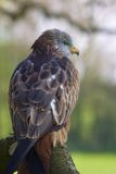 Red Kite Portrait On Branch Stock Photo