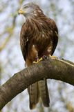 Red Kite Portrait On Branch Royalty Free Stock Photography