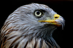 Red Kite Portrait Stock Photo