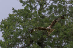 Red Kite scanning for food. Welsh Red Kite, scanning the area for its next meal, set against trees in the background Stock Photos