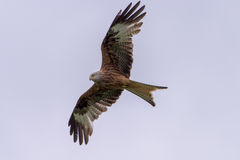 Red Kite scanning for food. Welsh Red Kite, scanning the area for its next meal, set against trees in the background Stock Images