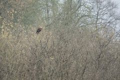 Red kite sits on a tree looking for food royalty free stock images