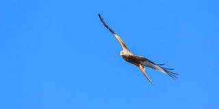 Red Kite Royalty Free Stock Image