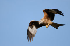 Red Kite soaring above Gigrin Farm. A Red Kite soars above the feeding station at Gigrin Fram Mid-Wales Stock Image