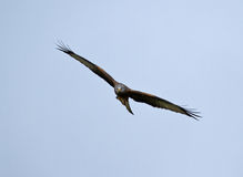 Red Kite Soaring Stock Images