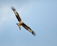 Red Kite Soaring Right Royalty Free Stock Images