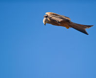 A Red Kite in still stand stock photos