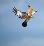 Red Kite Stooping. Showing underwing Royalty Free Stock Images