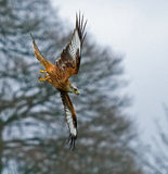 Red Kite Stooping to Right Stock Images