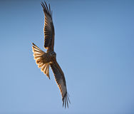 A Red Kite and the sun Stock Image