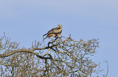 Red Kite in tree Stock Photos