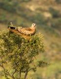 Red Kite on tree Stock Photo