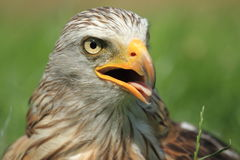 Red kite. The upper body of red kite with the open bill Stock Photography