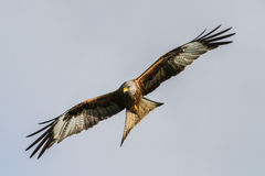 Red Kite. Ventral/underside view of Red Kite in flight stock image