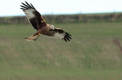 Red kite. Stock Photo