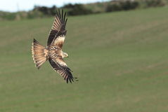Red kite. Royalty Free Stock Image