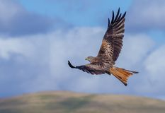 Red Kite wales. Prey raptor mountains birds hawk buzzard Stock Photos