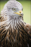 Red kite watching Stock Images