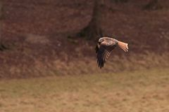 Red Kite with Worm stock images