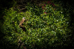 Red Kite Royalty Free Stock Images