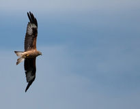 Red Kites Royalty Free Stock Photos