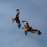 Red Kites. At Grigrin Farm an emergency feeding station Royalty Free Stock Image
