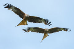 Red Kites Royalty Free Stock Images