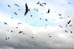 Red kites in the sky Royalty Free Stock Images