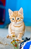 Red kitten Royalty Free Stock Image