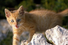 Red kitten. A cute little red kitten with blue eyes walking over stones outdoors Stock Images