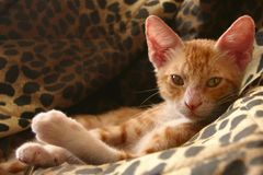 Red Kitten. On the sofa Royalty Free Stock Photography